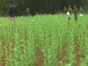 Video An ninh - Phát hiện 3.000 cây thuốc phiện mọc chui ở Cao Bằng