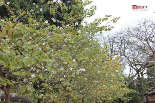 Hà Nội tháng 3 vàng ruộm mùa lộc vừng thay lá - 14