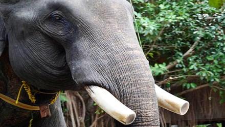 Cưới chồng, xây mộ cho voi - 1