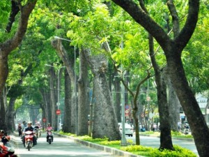 """Tin tức trong ngày - Sắp """"khai tử"""" hàng cây sọ khỉ cổ thụ ở trung tâm Sài Gòn"""