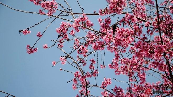 Mai anh đào tháng 3 vẫn nhuộm hồng Đà Lạt - 1
