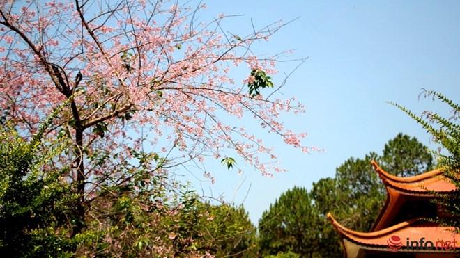 Mai anh đào tháng 3 vẫn nhuộm hồng Đà Lạt - 13