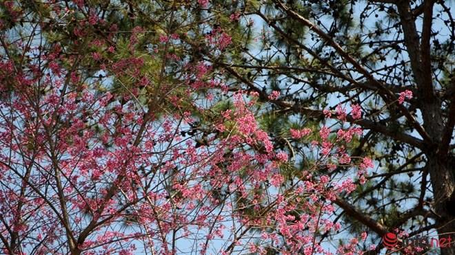 Mai anh đào tháng 3 vẫn nhuộm hồng Đà Lạt - 14