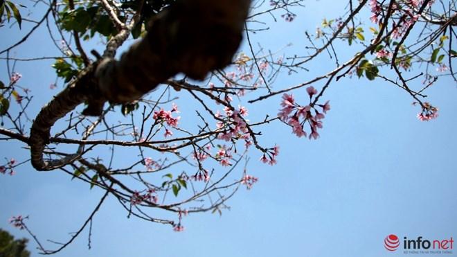 Mai anh đào tháng 3 vẫn nhuộm hồng Đà Lạt - 7