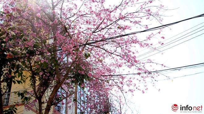 Mai anh đào tháng 3 vẫn nhuộm hồng Đà Lạt - 3