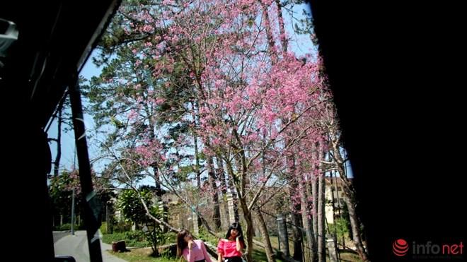Mai anh đào tháng 3 vẫn nhuộm hồng Đà Lạt - 10