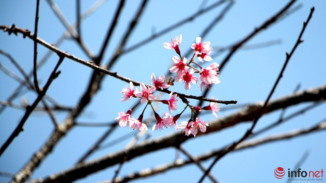 Mai anh đào tháng 3 vẫn nhuộm hồng Đà Lạt - 5