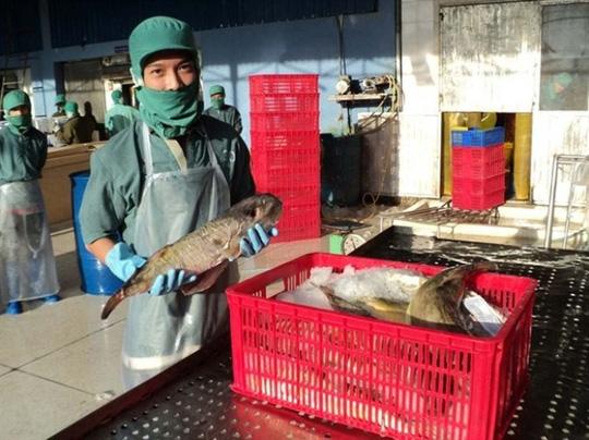 """""""Vỡ mộng"""" xuất khẩu cá nóc - 1"""