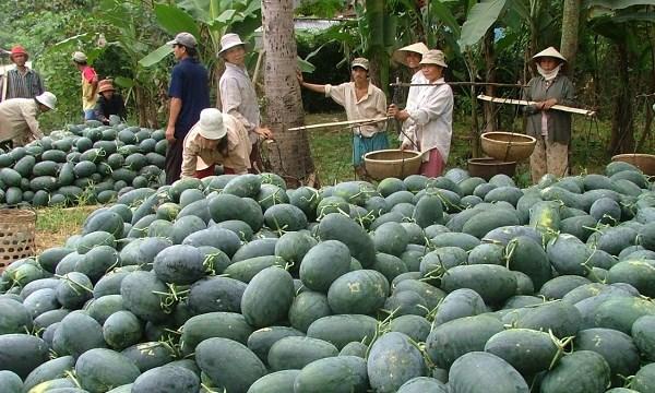 Giá dưa hấu tăng mạnh vì nhiều nông dân bỏ trồng dưa - 1