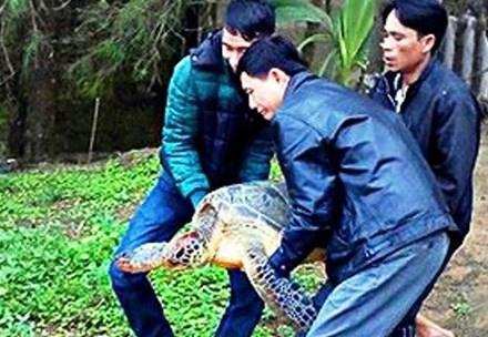 TT-Huế: Phát hiện rùa quý hiếm lạc vào đầm Cầu Hai - 1