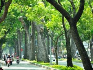 Tin tức trong ngày - Không đốn hạ hàng sọ khỉ cổ thụ ở trung tâm Sài Gòn