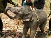 Tin tức trong ngày - Giải cứu voi rừng 2 tháng tuổi rơi xuống giếng