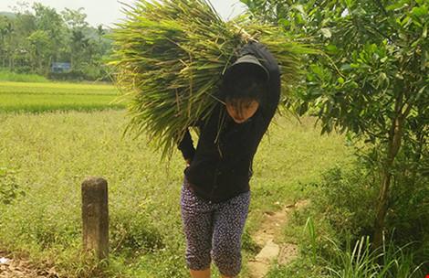 Lúa cháy đen, dân Quảng Nam cắt cho bò ăn - 1