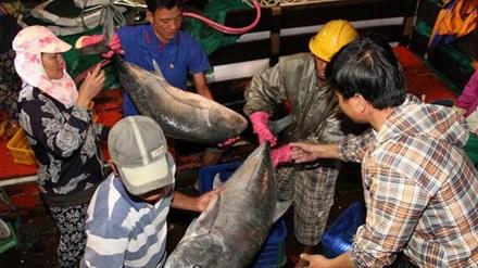 10 tấn cá bè quỵt ở Quảng Trị - 1