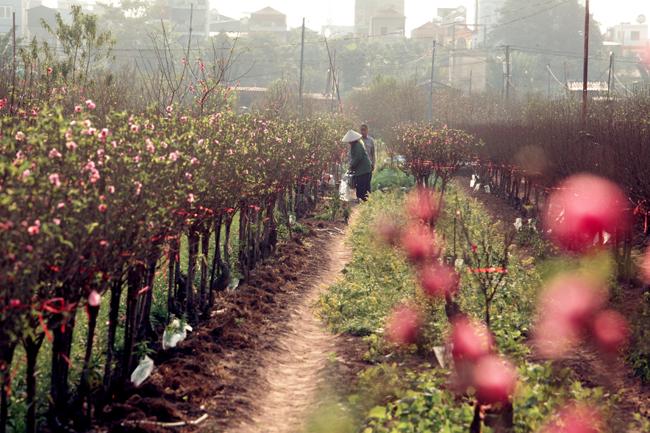 Thời tiết nắng ráo, một số vườn đào đã nở bung. Đặc biệt là khu vực gần bãi đá sông Hồng (quận Tây Hồ, Hà Nội).