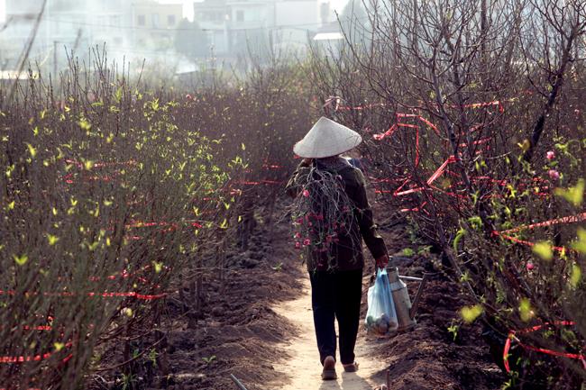 Người nông dân cũng bận rộn với việc chăm sóc đào phục vụ nhu cầu chơi Tết sớm của người Hà Nội