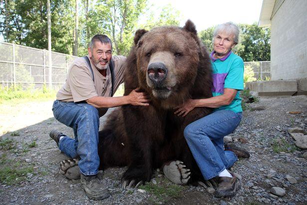 Cặp đôi Mỹ sống hạnh phúc cùng gấu nặng hơn 6 tạ - 1
