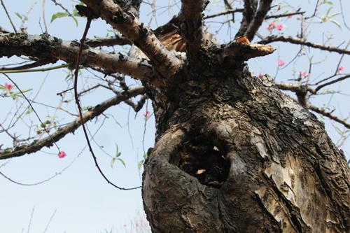 """Ngắm cây đào cổ siêu đẹp, giá """"trên trời"""" cũng không bán - 6"""
