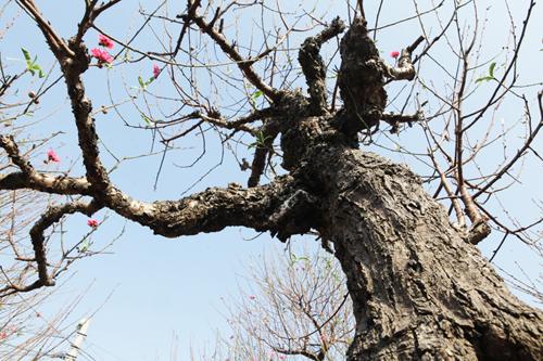 """Ngắm cây đào cổ siêu đẹp, giá """"trên trời"""" cũng không bán - 15"""