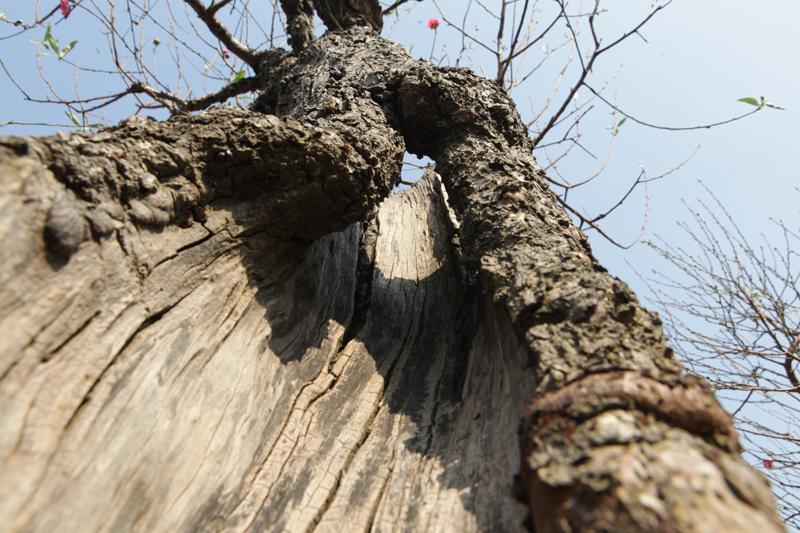 """Ngắm cây đào cổ siêu đẹp, giá """"trên trời"""" cũng không bán - 14"""