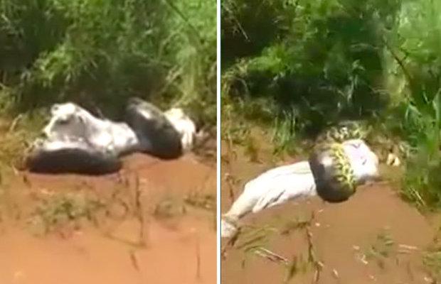 Video: Trăn khổng lồ siết chặt, dìm chết con bò xấu số xuống bùn - 1
