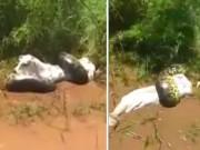 Thế giới - Video: Trăn khổng lồ siết chặt, dìm chết con bò xấu số xuống bùn