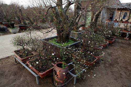 Ngắm vườn nhất chi mai hiếm có, khó trồng ở Hà Nội - 1