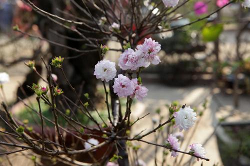 Ngắm vườn nhất chi mai hiếm có, khó trồng ở Hà Nội - 5