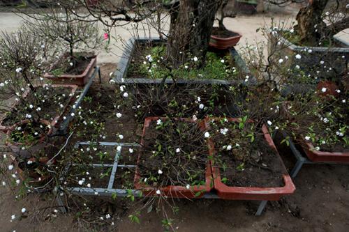 Ngắm vườn nhất chi mai hiếm có, khó trồng ở Hà Nội - 2