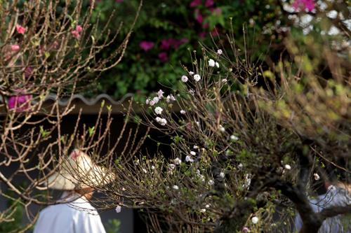 Ngắm vườn nhất chi mai hiếm có, khó trồng ở Hà Nội - 4