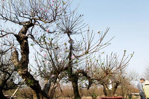Ngắm vườn nhất chi mai hiếm có, khó trồng ở Hà Nội - 3