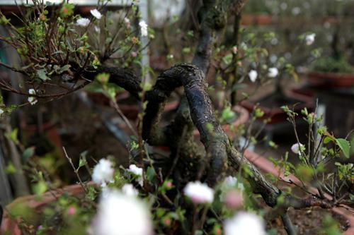 Ngắm vườn nhất chi mai hiếm có, khó trồng ở Hà Nội - 9