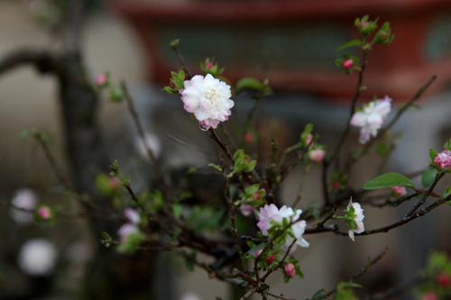 Ngắm vườn nhất chi mai hiếm có, khó trồng ở Hà Nội - 10
