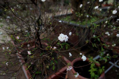 Ngắm vườn nhất chi mai hiếm có, khó trồng ở Hà Nội - 7