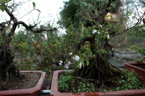 Ngắm vườn nhất chi mai hiếm có, khó trồng ở Hà Nội - 6