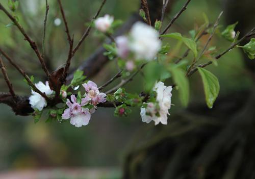 Ngắm vườn nhất chi mai hiếm có, khó trồng ở Hà Nội - 14
