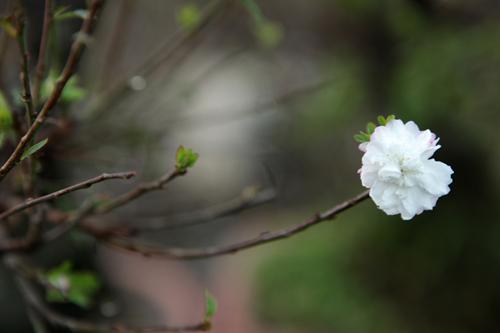 Ngắm vườn nhất chi mai hiếm có, khó trồng ở Hà Nội - 12