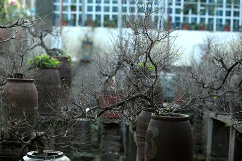 Ngắm vườn nhất chi mai hiếm có, khó trồng ở Hà Nội - 15