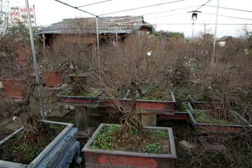 Ngắm vườn nhất chi mai hiếm có, khó trồng ở Hà Nội - 17