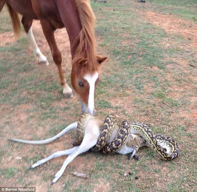 """Trăn khổng lồ nuốt chuột túi, ngựa đứng xem """"kinh ngạc"""" - 1"""