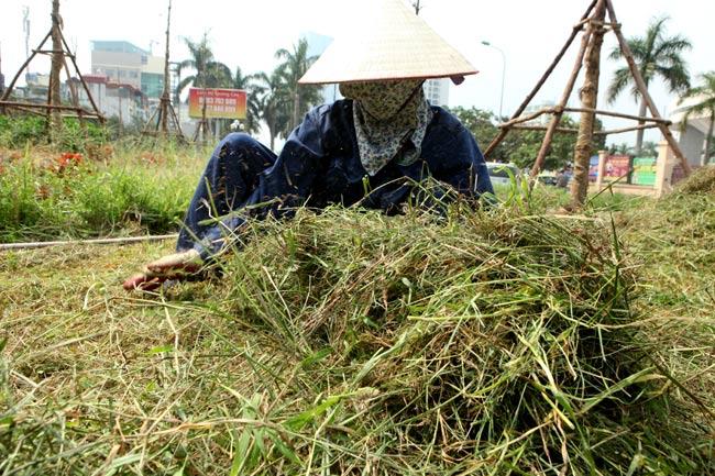 Hà Nội sẽ cắt cỏ 18 lần mỗi năm - 1
