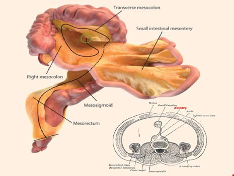Tin nóng: Cơ thể người có thêm bộ phận nội tạng mới - 1