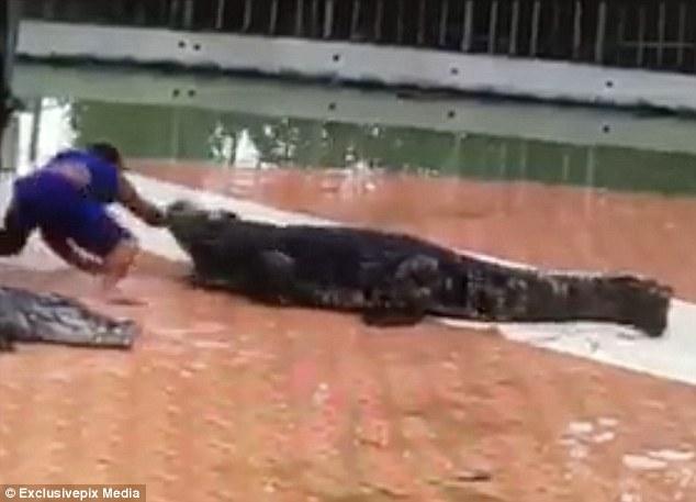 Thò tay vào mồm cá sấu, rút ra đã gãy làm đôi - 1