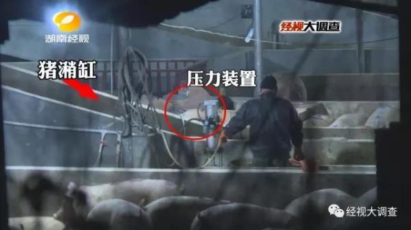 Sốc với cảnh bơm bùn vào lợn để tăng trọng ở TQ - 1