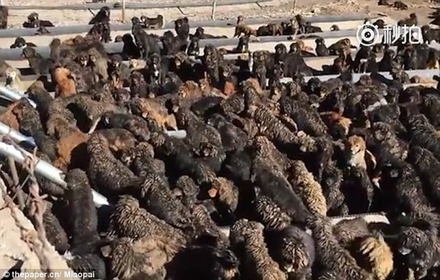 Quan vào tù, gần nghìn chó ngao Tây Tạng bị bỏ rơi ở TQ - 1