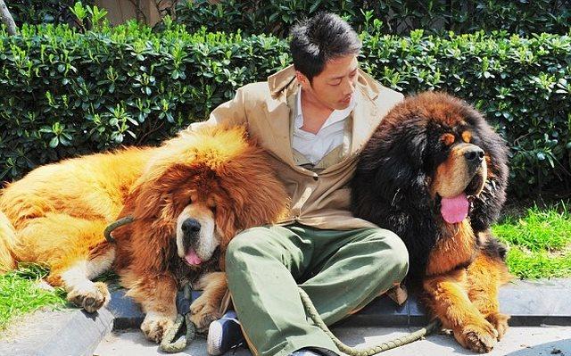 Quan vào tù, gần nghìn chó ngao Tây Tạng bị bỏ rơi ở TQ - 2