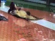 Phi thường - kỳ quặc - Thò tay vào mồm cá sấu, rút ra đã gãy làm đôi