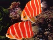 """Thị trường - Tiêu dùng - Top 7 siêu cá cảnh """"đắt hơn vàng"""""""