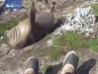 Sốc vì ngửi chân người, hải tượng lăn đùng xuống vách đá