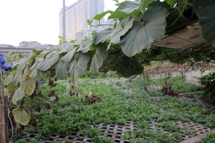 Người Hà Nội leo dốc, trồng rau trên hốc bê tông - 4